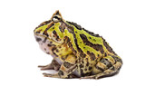 Side view of an Argentine Horned Frog, Ceratophrys ornata poster
