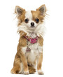 Chihuahua wearing a shiny collar, sitting, 7 months old