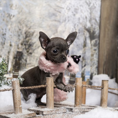 Chihuahua puppy with pink scarf, standing on a bridge