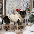 Dressed-up Chihuahua puppy standing on a bridge in a winter scen