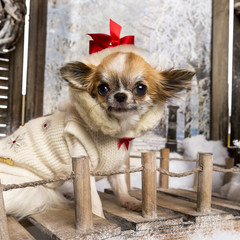 Close-up of a dressed-up Chihuahua on a bridge