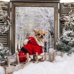 Chihuahua wearing a christmas suit, sitting on a bridge