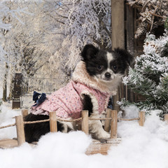 Dressed-up Chihuahua puppy sitting on a bridge in a winter scene