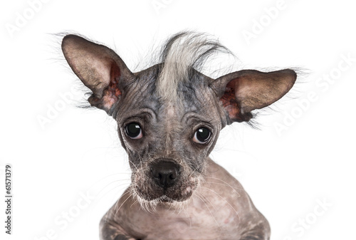 Close-up of a Chinese crested dog looking at the camera