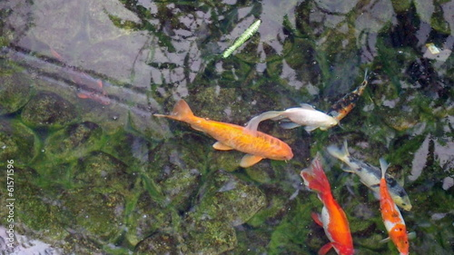 Koi fish swimming in the pond.