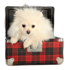 Pomeranian puppy small dog peeps from old suitcase