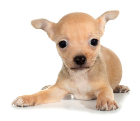 Tan chihuahua puppy small dog