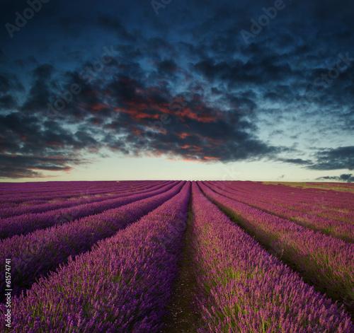 Vibrant Summer sunset over lavender field landscape - 61574741