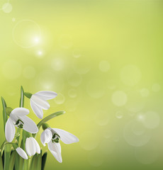 Spring snowdrop flowers on green background. Vector illustration