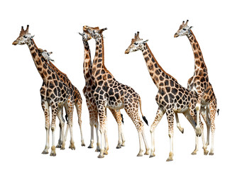 loving giraffes isolated on white background