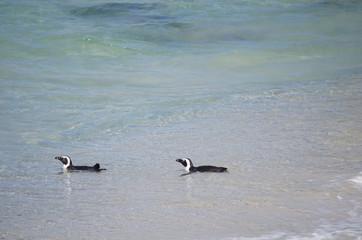 Schwimmende Pinguine