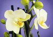 Light yellow orchid flowers with buds