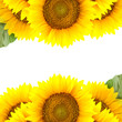 Border of large Sunflowers with  copy space