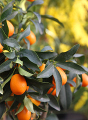 oranges hanging from the tree in the orchard in Sicily