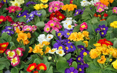 many flowers primula spring in wholesale 2