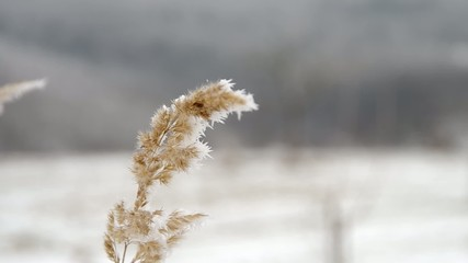 Frozen grass in early winter