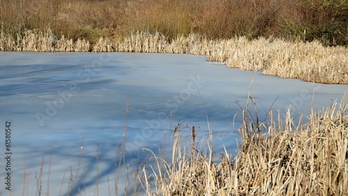 Frozen pond in winter and reed
