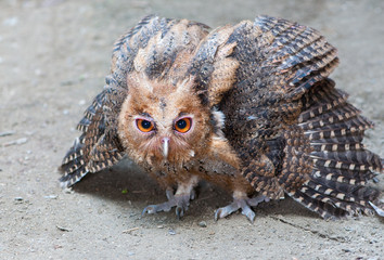 Philippine Eagle-Owl owlet assuming a defensive posture