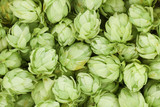 Background of green hop cones. - 61582707