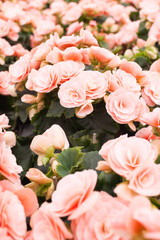 Pink begonia in a greenhouse.