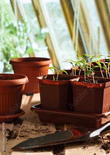 Pepper seedlings in pots