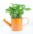 watering can with fresh basil