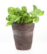 Potted fresh basil plant. Isolated..