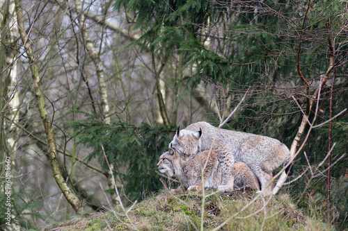 Fotobehang Lynx Luchspaarung 1