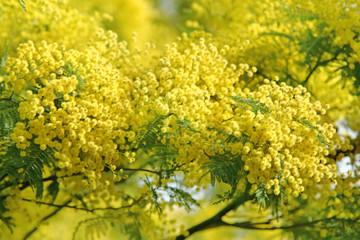 Mimose fiorite simbolo otto marzo