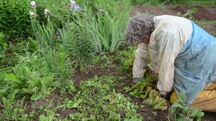 elderly woman weeding grass sprouted from the lettuce beds