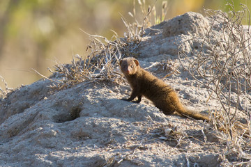 Family of dwarf mongoose sitting on termite nest