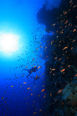 Colorful fish and scuba divers in the red sea