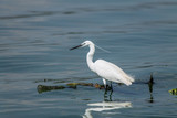 White Heron feeding at Hartebeespoort Dam