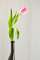 Pink tulip in the black glass vase
