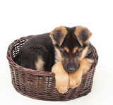 cute puppy straw basket isolated on white background