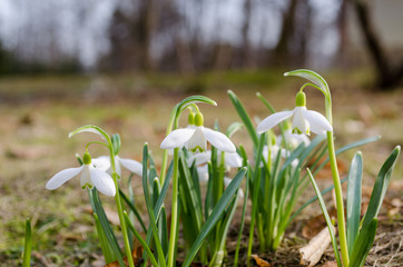spring flower snowdrop with green leaves in ground