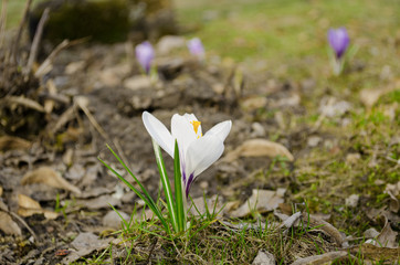 crocus flower grow in dry land spring