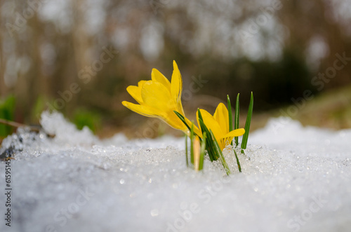 Papiers peints Crocus delicate yellow crocuses rise up from snow in sun