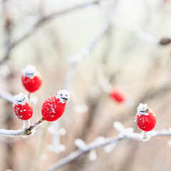 Winter background, red berries on the frozen branches covered wi