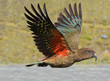 Leinwandbild Motiv Kea - New Zealand wildlife NZ NZL