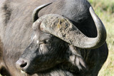 Closeup of Wild African Buffalo with curved horn