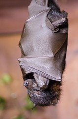 Large flying fox bat