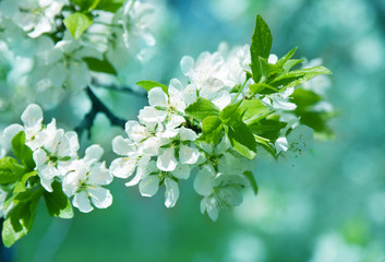 Branch of white spring blossom.