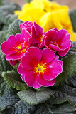 Spring flowers, colorful primulas