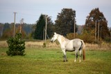 White horse at the pasture