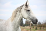 White horse at the pasture portrait