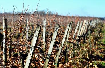 vignes bordelaises