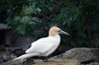 White gannet bird in the zoo.