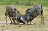 two Wildebeests are fighting each other.