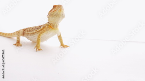 Bearded dragon (agama lizard) eating zophobas worm